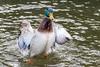 Mallard-0006.jpg (vorneo) Tags: bird mallard familyanatidae duck kingdomanimalia orderanseriformes classaves genusanas wild phylumchordata speciesaplatyrhynchos wildbird binomialnameanasplatyrhynchos