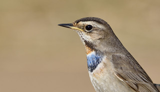 Bluethroat (Luscinia svecica).