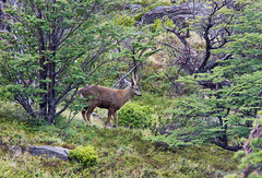 Huemul deer, Torres del Paine national park, Chile (Miche & Jon Rousell) Tags: chile patagonia lake southamerica argentina glacier deer torresdelpaine lagogrey glaciergrey torresdelpainenationalpark huemul andestowers