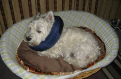 "8/12B ~ ""Riley Recovering"" (ellenc995) Tags: riley westie sensational westhighlandwhiteterrier attacked recovering ruby3 coth supershot abigfave pet500 pet100 pet1000 pet2000 pet1500 thesuperbmasterpiece rubyphotographer 100commentgroup challengeclub coth5 thesunshinegroup 12monthsfordogs15"