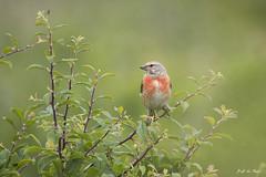 DSC_4312-2 (P2 New) Tags: france juin bretagne date animaux morbihan pays oiseaux fringillidae 2015 sarzeau linottemlodieuse passriformes chateaudesarzeau