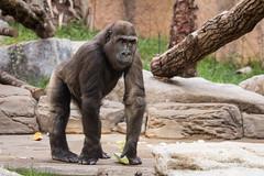 2015-09-09-09h23m16.BL7R6707 (A.J. Haverkamp) Tags: canonef100400mmf4556lisusmlens münchen bayern germany tano dob08112011 pobpragueczechrepublic gorilla westelijkelaaglandgorilla muenchen zoo dierentuin tierpark hellabrunn httpwwwtierparkhellabrunnde munchen duitsland