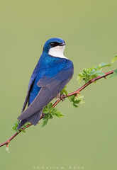 Sitting pretty (Khurram Khan...) Tags: ilovenature nikon wildlife ngc npc songbirds treeswallow wildlifephotography ilovewildlife iamnikon khurramk khurramkhan
