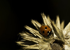 Ladybird (JONBRNS Photography) Tags: uk red summer england brown sun flower macro nature garden dark insect dead warm natural insects mini explore spotty ladybird british beasts natureandnothingelse
