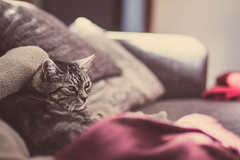 Chill Out Cat (thethomsn) Tags: pet cats blur cute home animal comfortable cat canon 50mm grey blurry eyes soft dof bright sweet tiger ears cutie depthoffield livingroom couch katze tone housecat easygoing creamy thethomsn