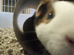 Scatter #2 2.17.14 (grannyju1) Tags: pets guineapig scatter february 2014
