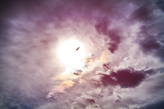 Soaring... (Starrgalla) Tags: california sky cloud sun bird sunshine clouds fly flying bright flight sonomacounty soaring soar birdsilhouette