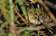 A87A0363 Yellow-browed warbler (steve.ray50) Tags: sandwich 2015