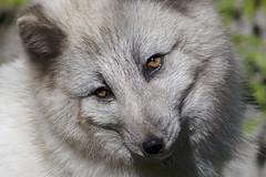 Harley portrait (ucumari photography) Tags: animal mammal zoo nc north harley carolina april arcticfox 2015 specanimal dsc1379 ucumariphotography