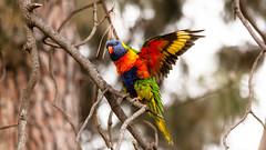 Maribyrnong (wtewg) Tags: bird spring rainbow october lorikeet australia victoria nikond50 17th 2015 maribyrnong
