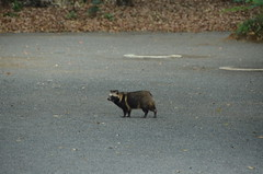 DSC_1508 (My many travels) Tags: japan tokyo shrine shibuya tanuki   raccoon  shinto meiji jingu