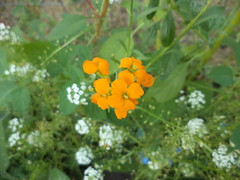 Siberian Wallflower (Brandon Blahnik) Tags: white flower me garden sweet chinese tall siberian forget alyssum wallflower not