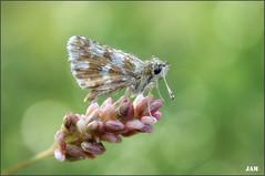 Frio al amanecer (- JAM -) Tags: naturaleza flower macro nature insect nikon flor explore jam mariposas d800 insecto macrofotografia explored lepidopteros juanadradas