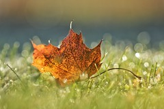 kissed by the sun (s@ssyl@ssy) Tags: morning light sunlight grass leaf maple frost bokeh dew