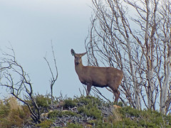 Andean Deer (sharpbob2) Tags: chile animal torresdelpaine huemul hippocamelusbisulcus southandeandeer