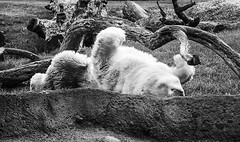 catherinesmith_8_zoo (catherineLsmith) Tags: bear columbus ohio white grass outside happy zoo unitedstates polar rolling