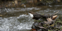 _2831 Dipper. (Dave @ Catchlight Images) Tags: nature water canon river wildlife songbird dipper