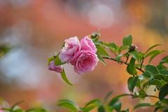 """さざんか (山茶花) /Camellia sasanqua (nobuflickr) Tags: flower nature japan botanical kyoto 日本 山茶花 camelliasasanqua camellia 花 """"the garden"""" さざんか 京都府立植物園 awesomeblossoms ツバキ科ツバキ属 20151120dsc01942"""