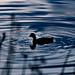 Duck silhouette, in late twilight