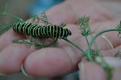 pre-mariposa (martagaliano) Tags: verde mariposa gusano