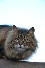 un gattone (ELENA TABASSO) Tags: gatto gatti cat cats animal animals animale animali