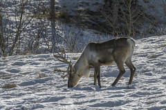 Caribou in winter (tmeallen) Tags: caribou reindeer rangifertarandus largeantlers snow driedgrasses feeding yukonwildlifepreserve whitehorse yukonterritories