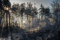 161230_006-95.jpg (Jacky Vastmans) Tags: limburg maasmechelen mechelseheide beriezen bevroren bos cold dennebomen dennen freezing frozen koud landscape landschap panorama pine sneeuw sneeuwlandschap snow snowylandscape sparren stilleven vriezen winter winterlandschap wood