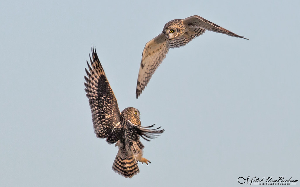 Fight In Flight! (Short-Eared Owls)