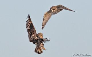 Fight In Flight! (Short-Eared Owls)