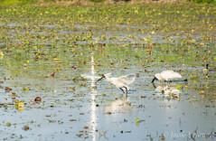Royal Spoonbills (JLoyacano) Tags: jacobloyacano bird bribieisland buckleyshole hole nature queensland royalspoonbill spoonbill wildlife