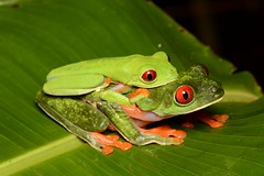 Red-eyed Leaf Frogs (amdubois01) Tags: redeyedleaffrog leaffrog frog agalychnis agalychniscallidryas amphibian herpetology costarica limón redeyedtreefrog amplexus mating