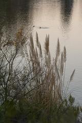 Morning Calm (gpa.1001) Tags: sandiego california lakemurray pampasgrass morning sunrise missiontrailspark