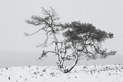 Snow Tree (Rob Christiaans  Nature and Wildlife) Tags: canon5dmkiii canonef300mmf4isl snow winter veluwe veluwezoom bw luminositymaks