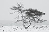 Snow Tree (Rob Christiaans  Nature and Wildlife) Tags: canon5dmkiii canonef300mmf4isl snow winter veluwe veluwezoom bw luminositymaks