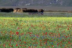 _UM22354s_filteredR (Foto Massimo Lazzari) Tags: fioritura lenticchie papaveri fiordaliso fiori