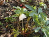 Welcome back - (bryanilona) Tags: hellibore flower christmasrose rosehips pruning garden leaves fallenfig fantasticflower abigfave