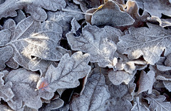 Frosted Leaves (LindaShaws Images) Tags: oak leaves frost frosted glow winter morning orangeglow cold freezing bartonmarina sunshine