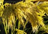 298. Apollo's Golden Harvest (www.YouTube.com/PhotographyPassions) Tags: plants plant flora mlpphflora flowers blossoms blooms flower grass grasses grassflowers golden goldengrass gold goldgrass grassflowerheads bright sunongrasses sunlightongrasses yellow mellowyellow