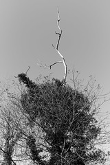 Liguria (fabiolug) Tags: branches branch tree trees nature liguria ligury italia italy leicammonochrom mmonochrom monochrom leicamonochrom leica leicam rangefinder blackandwhite blackwhite bw monochrome biancoenero 35mmsummicronasph 35mmf2summicronasph summicronm35mmf2asph summicron35mmf2asph 35mm summicron leicasummicron leica35mm sky