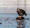 Eagles 1.7.17 (alan.forshee) Tags: bald eagles juvenile mature feeding playing tustling flight ice winter bird prey raptor beauty snow tree fish