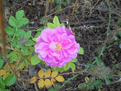 1396 (en-ri) Tags: rosellina little rose sony sonysti foglie leaves