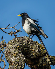 Yellow-billed Magpie (Bob Gunderson) Tags: california coyotevalley northerncalifornia santaclaracounty southbay magpie yellowbilledmagpie