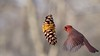 Male Northern Cardinal (mausgabe) Tags: olympus em1 olympusm40150mmf28 olympusmc14 nyc centralpark theramble bird male northerncardinal