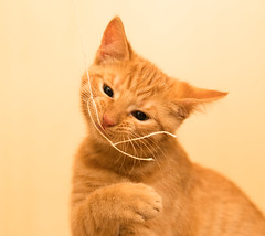 Playful (--Conrad-N--) Tags: pet cat tiger play sony a7rm2 orange young