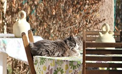 Sunbathing cat (chriskatsie) Tags: chat cat table poterie soleil sun