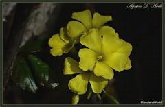 Acetosella - Marzo-2017 (agostinodascoli) Tags: nikon nikkor acetosella cianciana sicilia agostinodascoli piante fiori nature texture macro marzo d