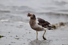 Seagull breakfast (Carlos Ramirez Alva) Tags: perú bahíadeancon ancon verano océanopacífico océano mar meals comiendo comida beach seagulls playa gaviotas