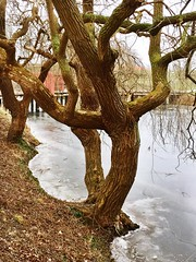 Trees and ice, Kastellet, Copenaghen, Denmark. Tree Nature Outdoors Tranquility No People Kastellet Copenaghen Denmark Metapolitica (Massimo Virgilio - Metapolitica) Tags: tree nature outdoors tranquility nopeople kastellet copenaghen denmark metapolitica
