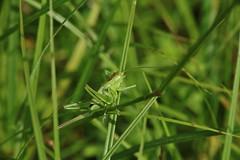 so green (Hugo von Schreck) Tags: hugovonschreck heupferd jumber green grün insect insekt macro makro gras canoneos5dsr tamron28300mmf3563divcpzda010