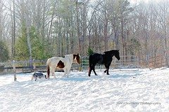 Horses & The Pup (Horsefeathers Photography) Tags: horses friesian paint australian shepherd dog smokey horsefeathers photography